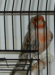 Ágata vermelho mosaico (macho)